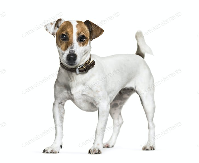Standing Jack Russell Terrier dog, isolated on white