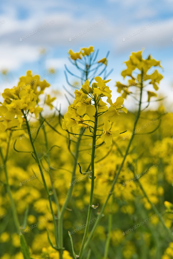 Detail of flowering rapeseed canola or colza, plant for green energy and oil industry