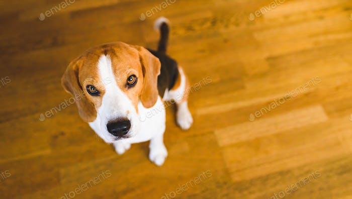 Beagle dog sitting on wooden floor looking up. Sad eyes background