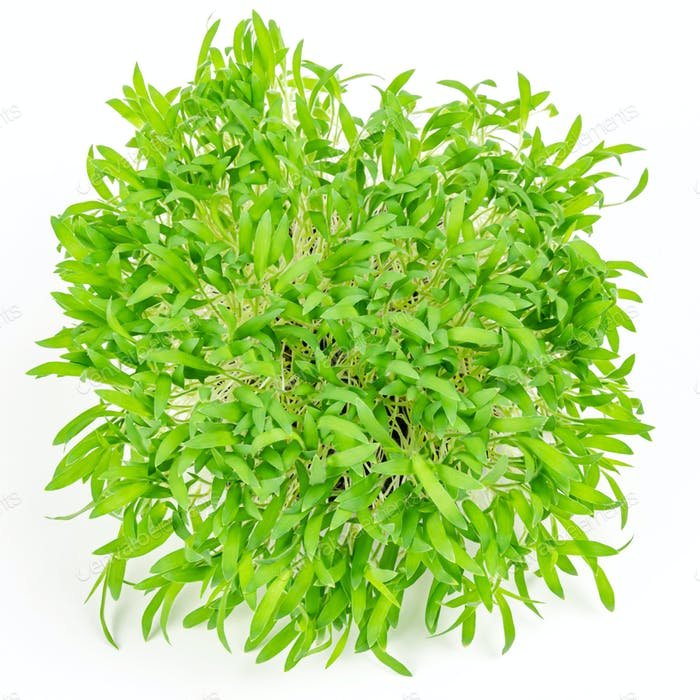 Brown millet microgreen from above, on white background