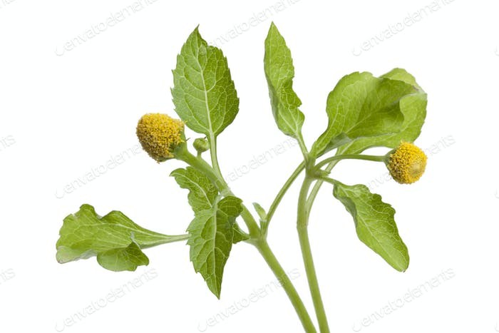 Fresh para cress plant