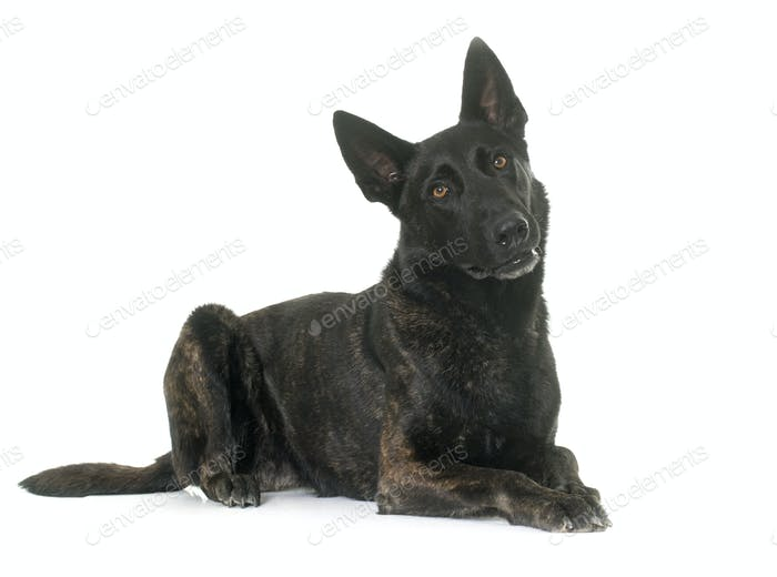 dark dutch shepherd