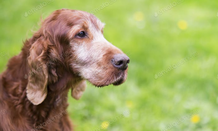 Beautiful old Irish Setter dog