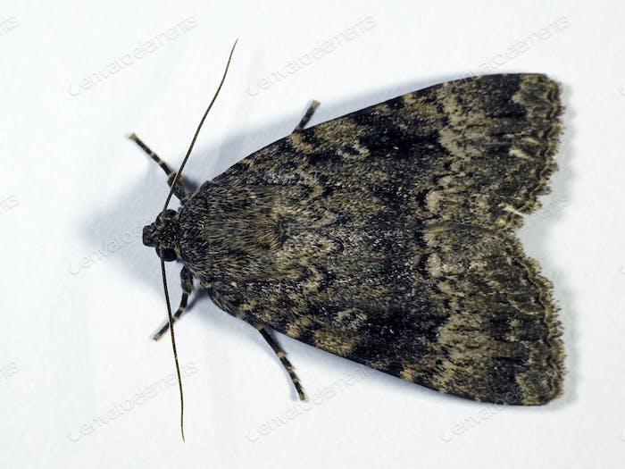 Svensson's copper underwing moth (Amphipyra berbera)