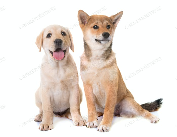 puppies labrador retriever and shiba inu