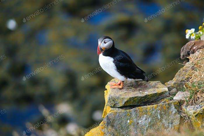Puffin in Iceland. Seabird on sheer cliffs. Birds on the Westfjord in Iceland.