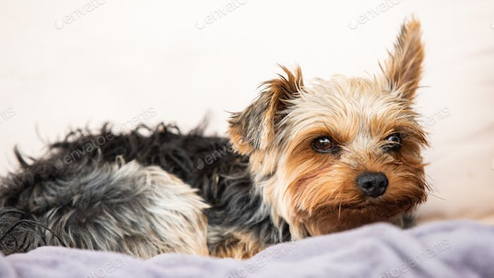 Yorkshire terrier resting on a couch outside in backyard