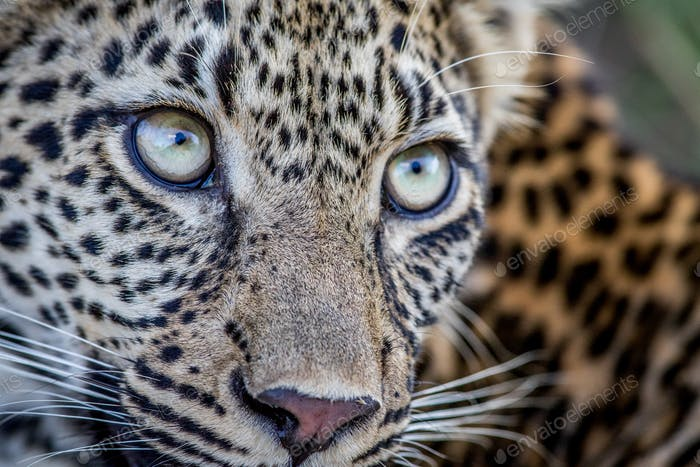 Close up of Leopard eyes in the Kruger National Park, South Afri