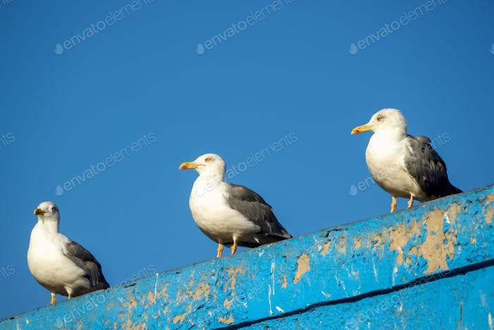 Three seagulls resting