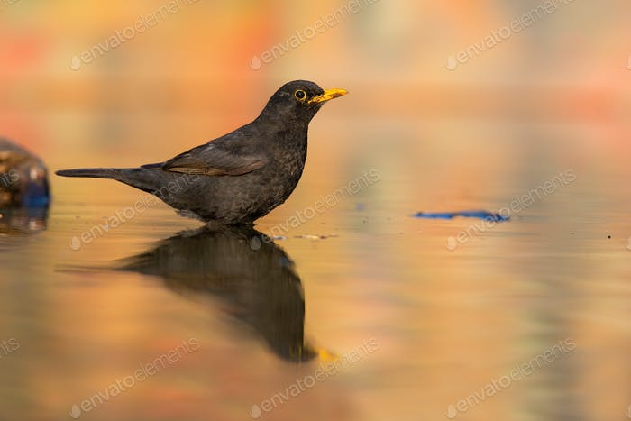 Song thrush female sitting in water with reflection in fall