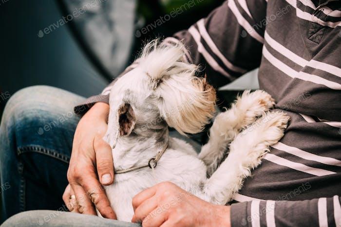 Small Miniature Schnauzer Dog Zwergschnauzer Sitting In Hands Of