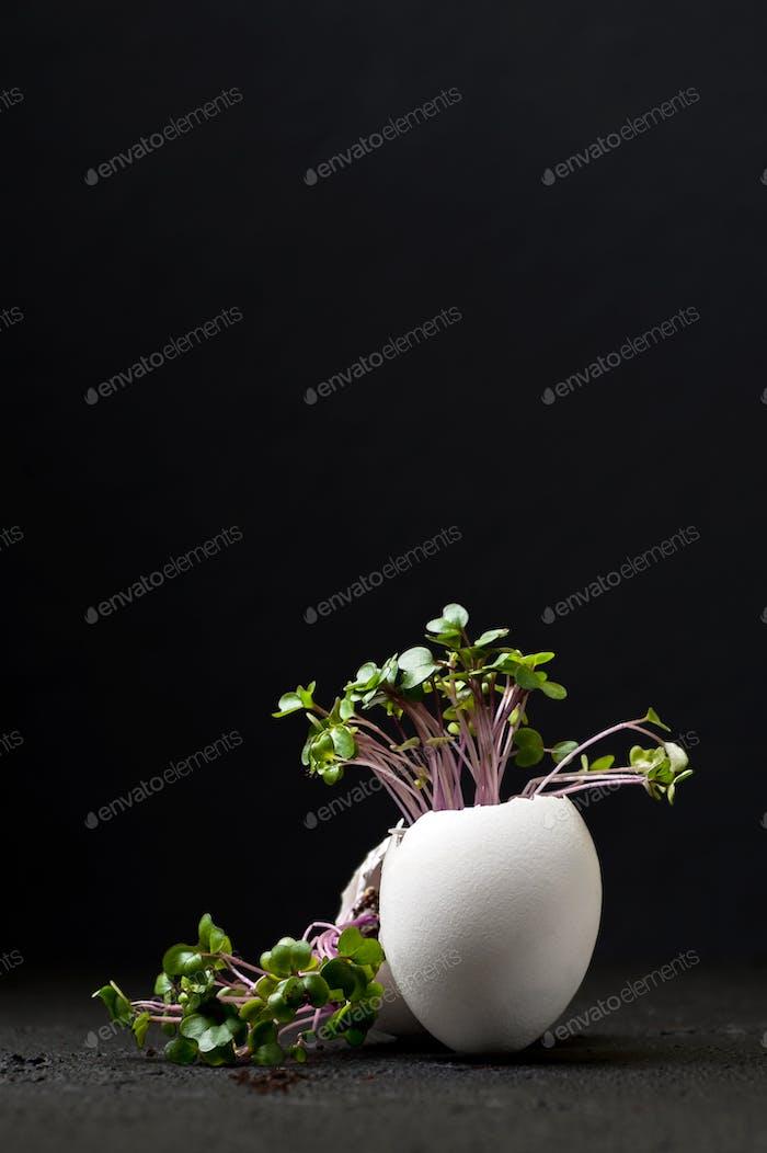 Junger grüner Kress-Salat in einer Eierschale auf schwarzem Hintergrund.