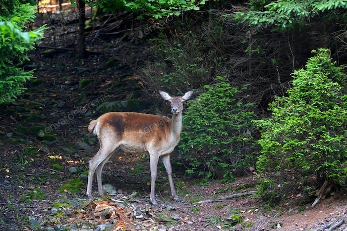 Deer on meadow in summer time