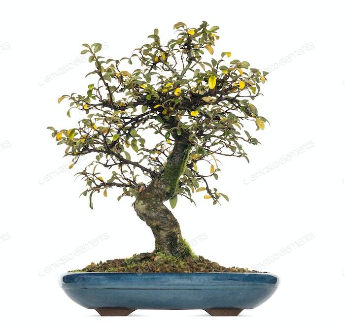 Cotoneaster Dammeri Bonsai Baum, isoliert auf weiß