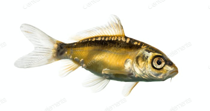 Thumbnail for Side view of a yellow koi isolated on white