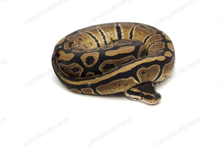 Snake Ball python isolated on white background