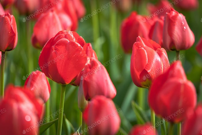 Tulip. Beautiful red tulips flowers in spring garden, floral bac