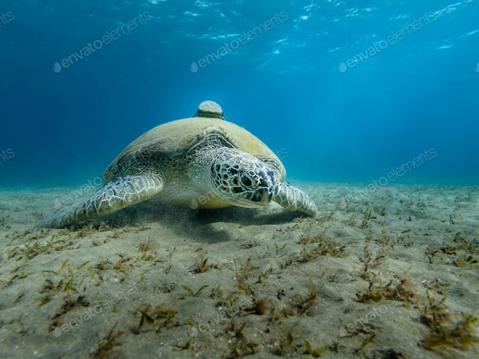 Giant Sea turtle close-up Red Sea Egypt