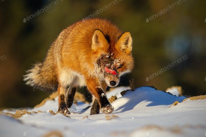 Injured wild red fox with wound on head approaching