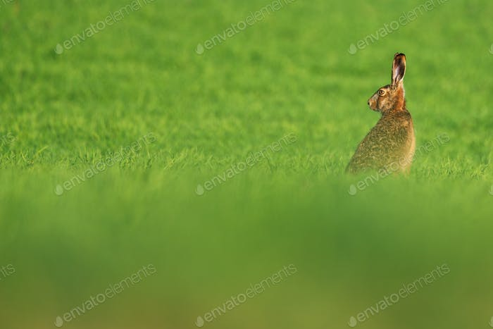 European hare , Lepus europaeus rabbit on meadow
