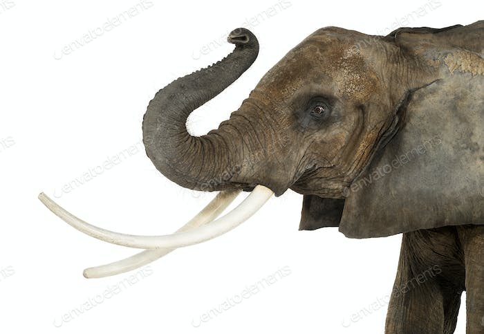 Close up of an African Elephant lifting its trunk, isolated on white