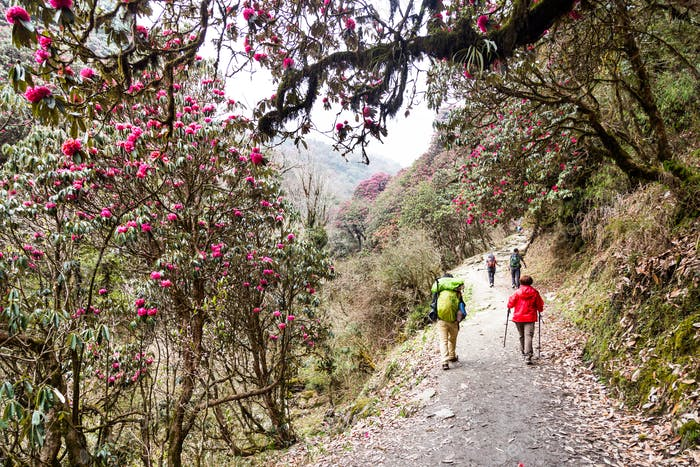 People trekking through a scenic trail with Rhododendron flower in Nepal