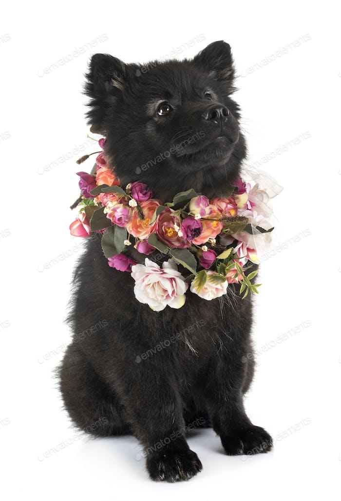 puppy Finnish Lapphund in studio