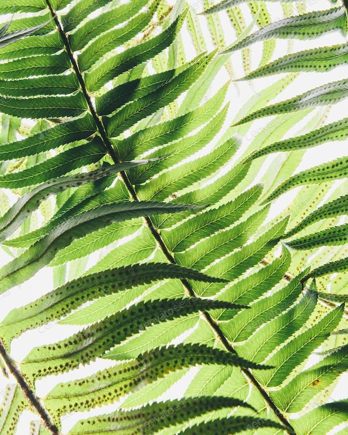 Westernschwert Farn, ein einzelnes Blatt mit Blättern gleichmäßig bis zum Stiel. Polystichum munitum.