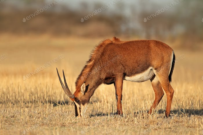 Female sable antelope