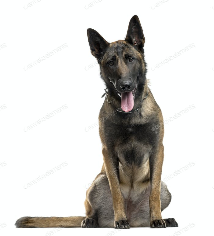 Belgian Shepherd sitting in front of a white background