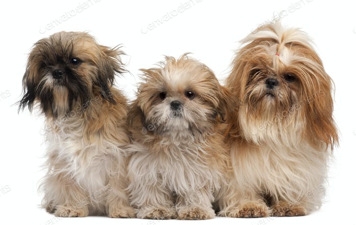 Three Shih-tzus in front of white background