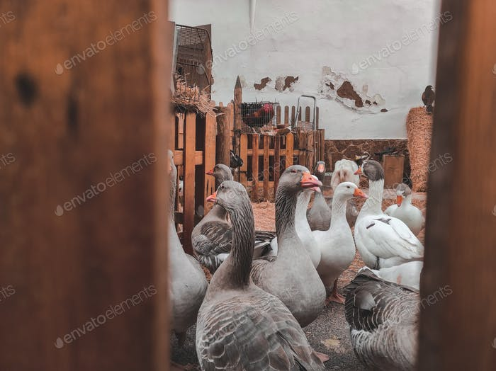 Domestic geese in a fair farm