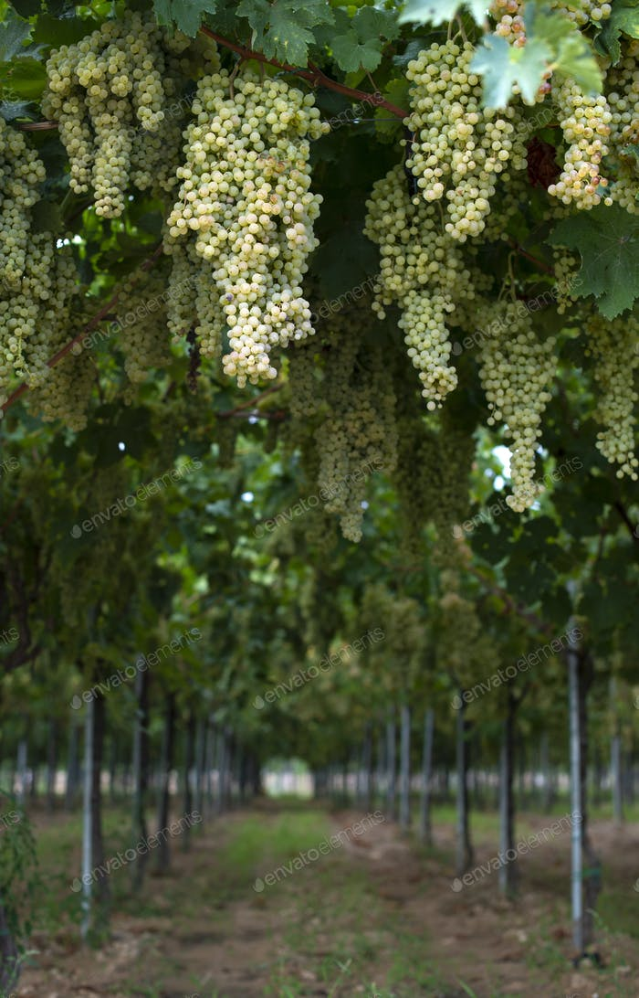 Dessert white grapes. Variety of grapes for eating.
