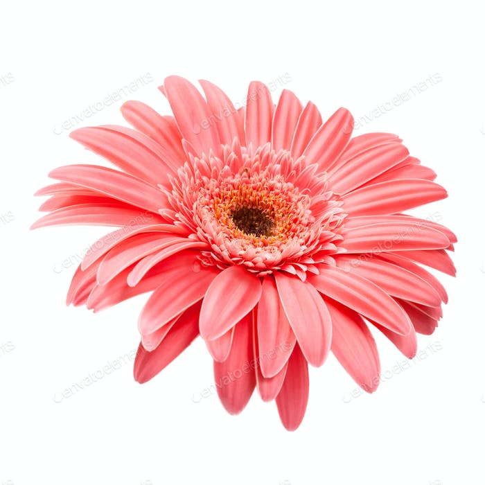 Pink gerbera close up