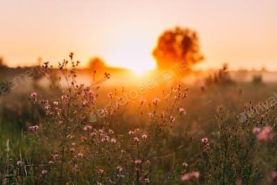 Close Up Wild Flowers In Sunset Sunrise Sunlight.