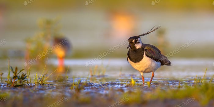 Northern lapwing in wetland habitat with warm colors