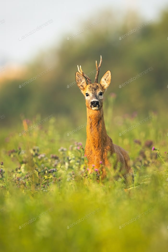 Portrait of roe deer buck with antlers standing alerted on a meadow in summer