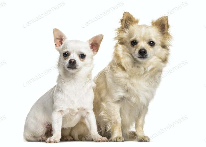 Chihuahua dogs , 4 years old and 7 months old, sitting against white background