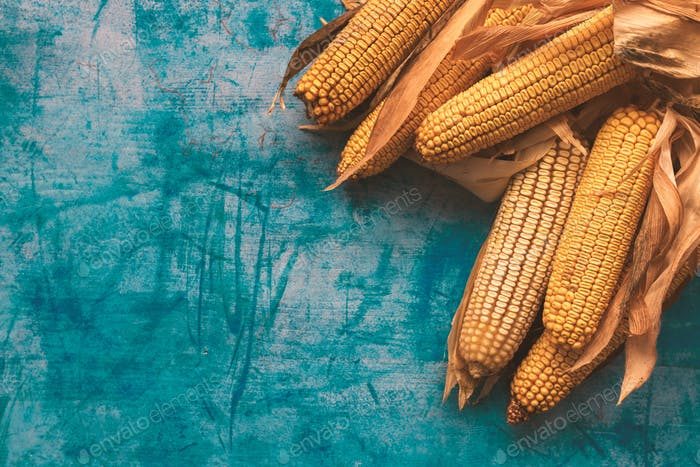Harvested corn on the cob on grunge blue background