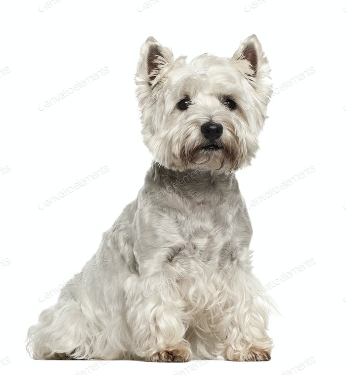 West Highland White Terrier, 5 years old, sitting against white background