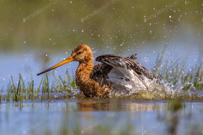 Black-tailed Godwit wader bird washing