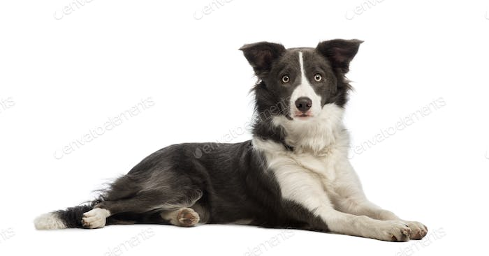 Border Collie, 8 months old, lying and looking at the camera in front of white background