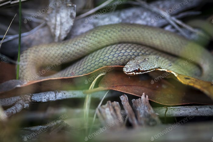 White-lipped Snake in Tasmania