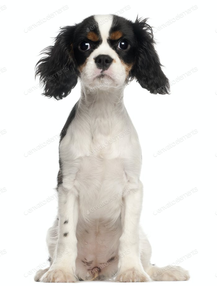 Cavalier King Charles Spaniel puppy sitting in front of white background