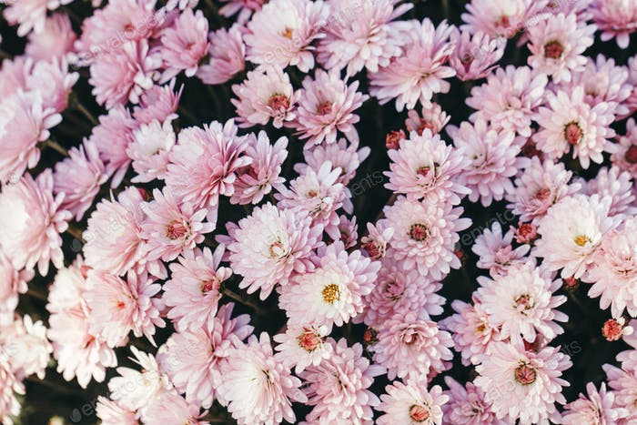 Close-up of beautiful pink chrysanthemum. Flowers spring or summer background, top view.
