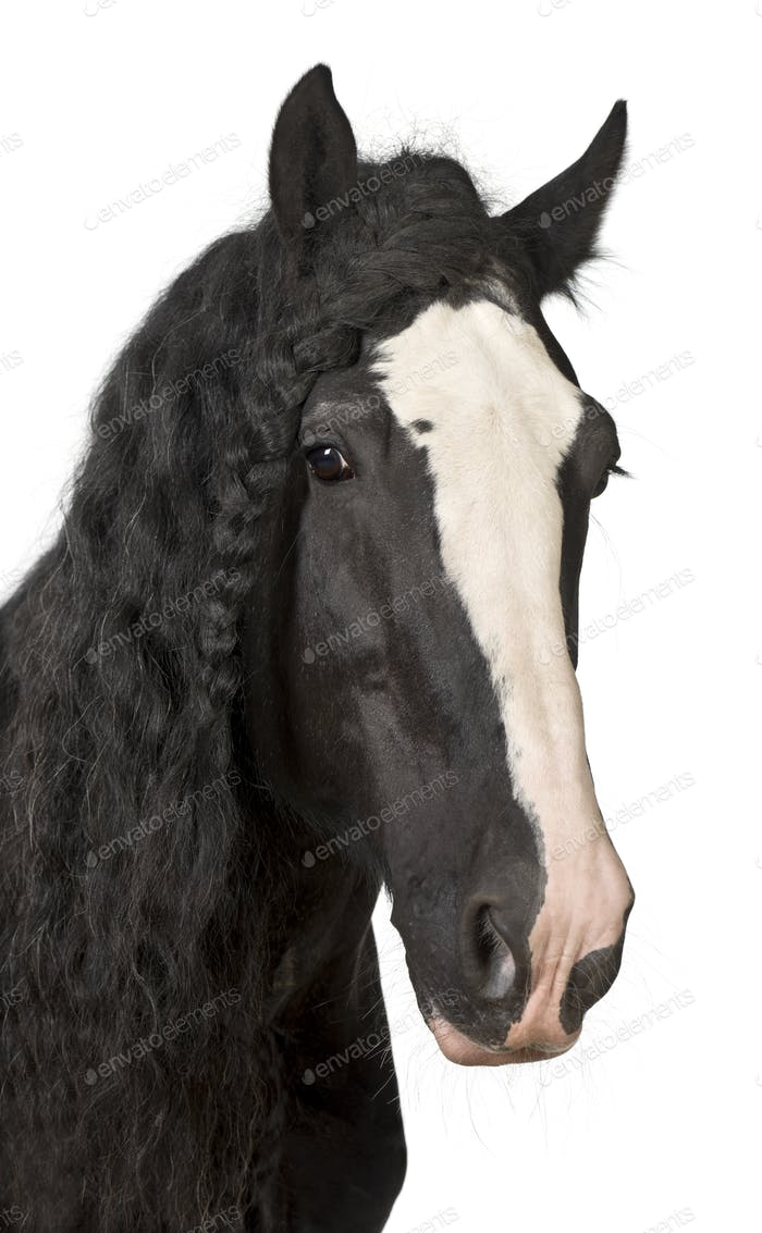 Portrait of Shire Horse against white background