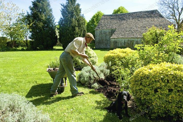 A man gardening, using a fork to add mulch and fertiliser to soil around mature shrubs.