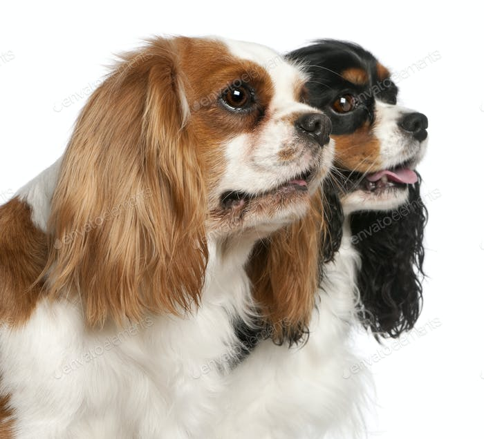 Thumbnail for Close-up of Cavalier King Charles Spaniels, 2 and 3 years old, in front of white background