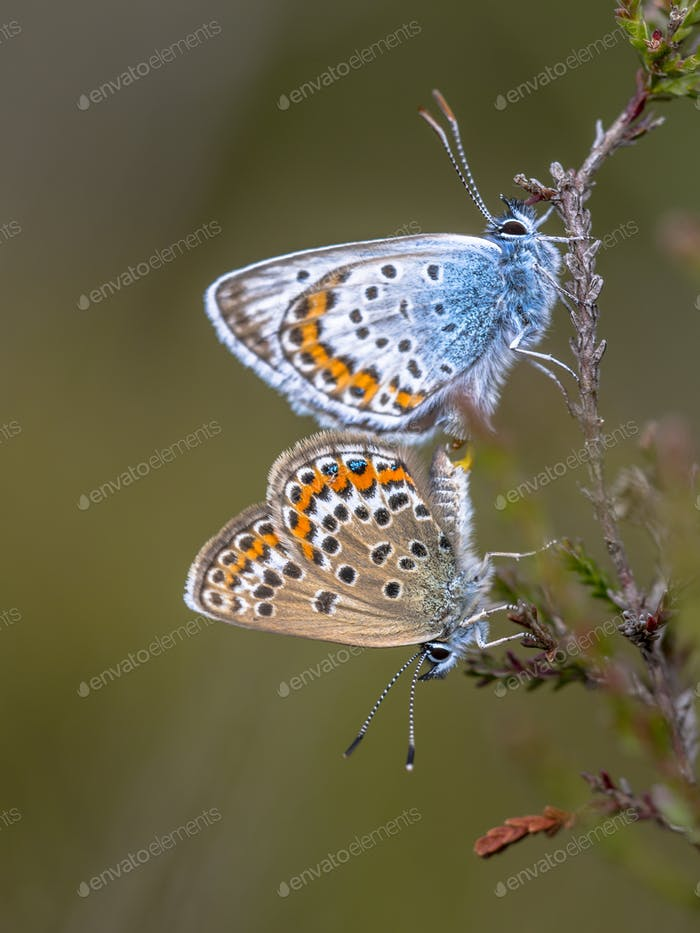 silver studded blue butterflies mating on common heather