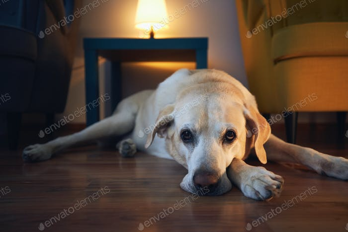 Old dog resting at cozy home